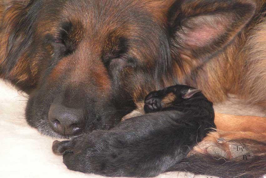 Elevage familial de berger allemand poils longs en france - Enlever poil de chien voiture ...